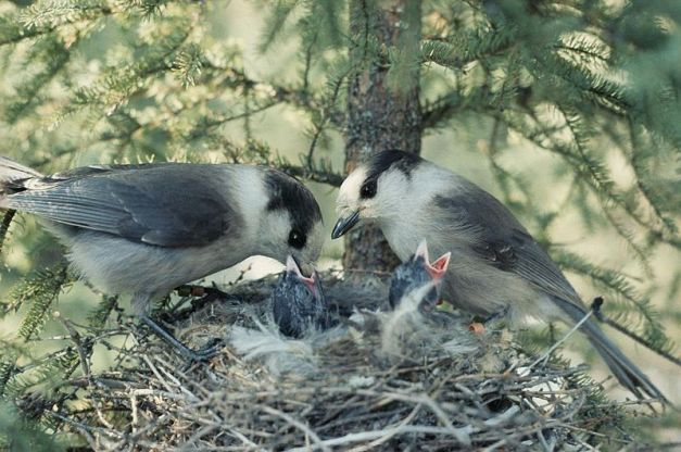 800px-Perisoreus_canadensis_feeding_at_nest