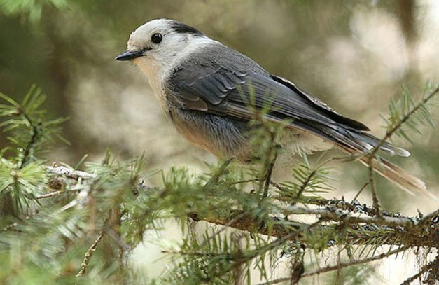 gray-jay--michael-woodruff