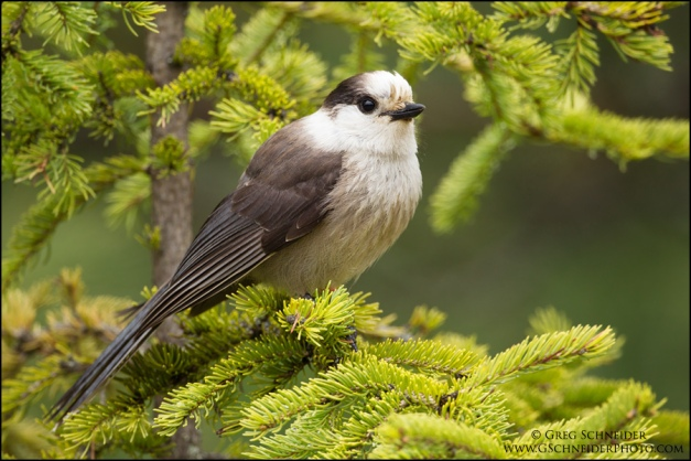 Gray Jay perched on spruce